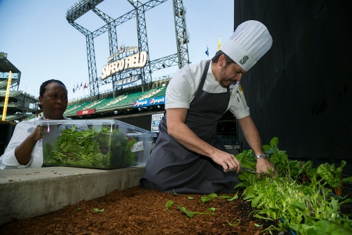 Safeco Field Executive Chef Michael Johnson harvests mixed greens from the Safeco Field Urban Garden, which will be made into a Hit It Here Salad.